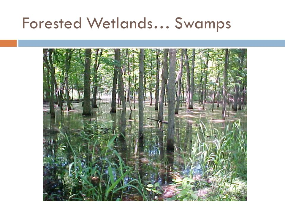 Forested Wetlands… Swamps