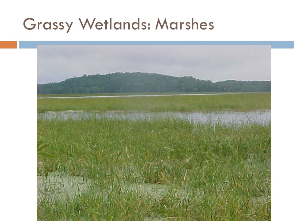 Grassy Wetlands: Marshes