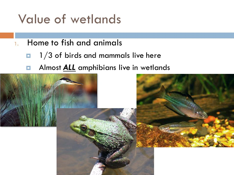 Value of wetlands 1. Home to fish and animals  1/3 of birds and mammals live here  Almost ALL amphibians live in wetlands