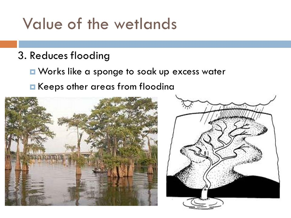 Value of the wetlands 3. Reduces flooding  Works like a sponge to soak up excess water  Keeps other areas from flooding