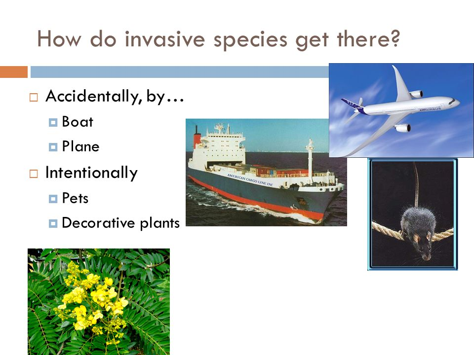 How do invasive species get there?  Accidentally, by…  Boat  Plane  Intentionally  Pets  Decorative plants