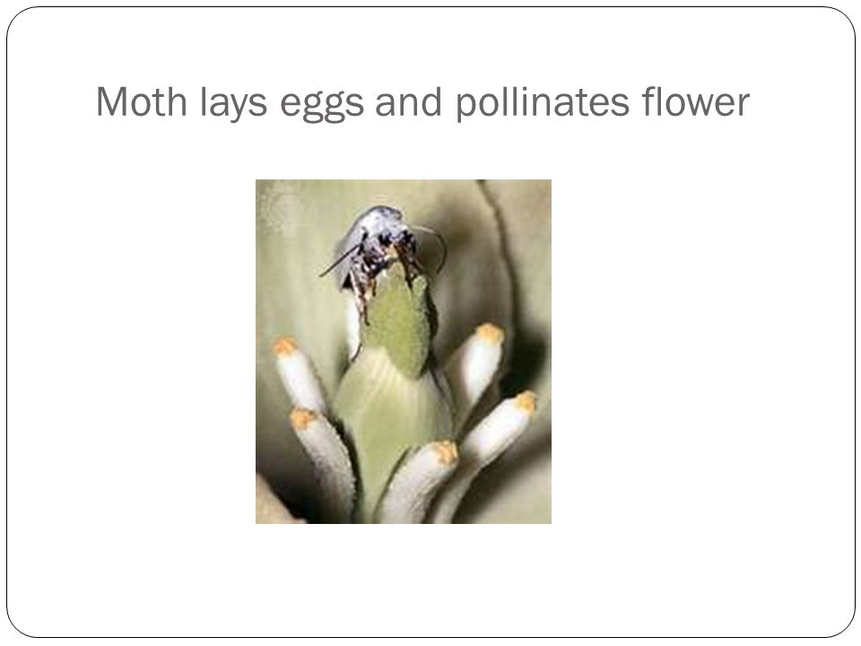 Moth lays eggs and pollinates flower