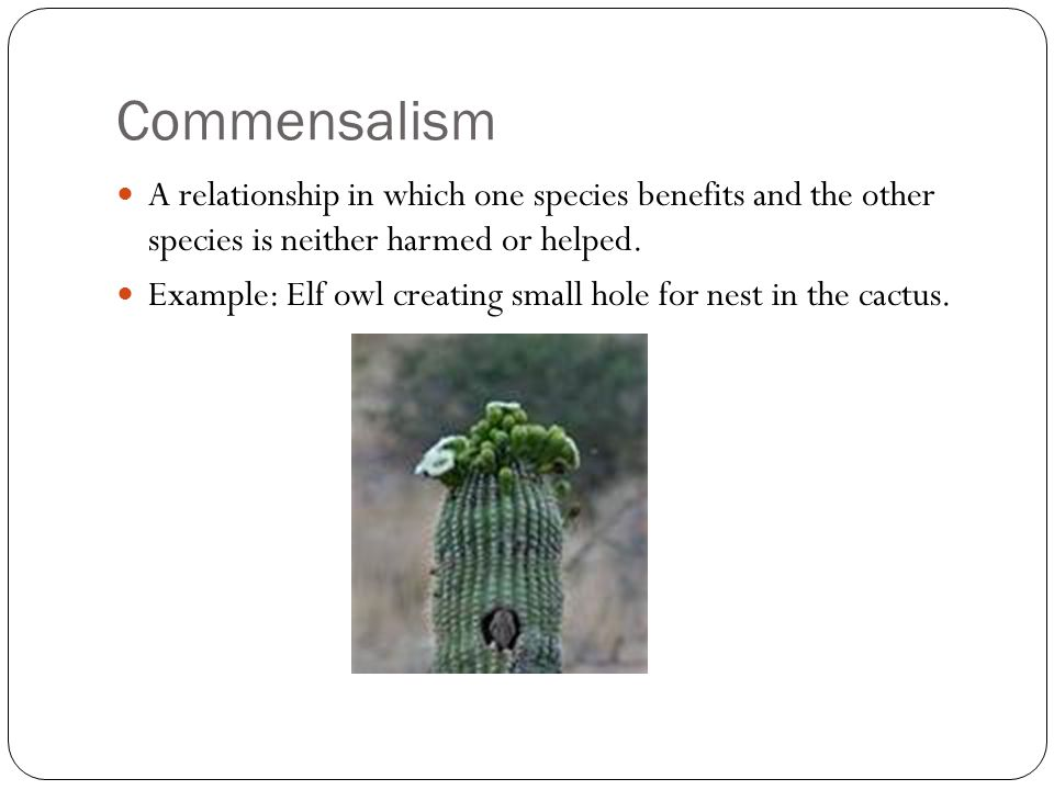 Commensalism A relationship in which one species benefits and the other species is neither harmed or helped. Example: Elf owl creating small hole for