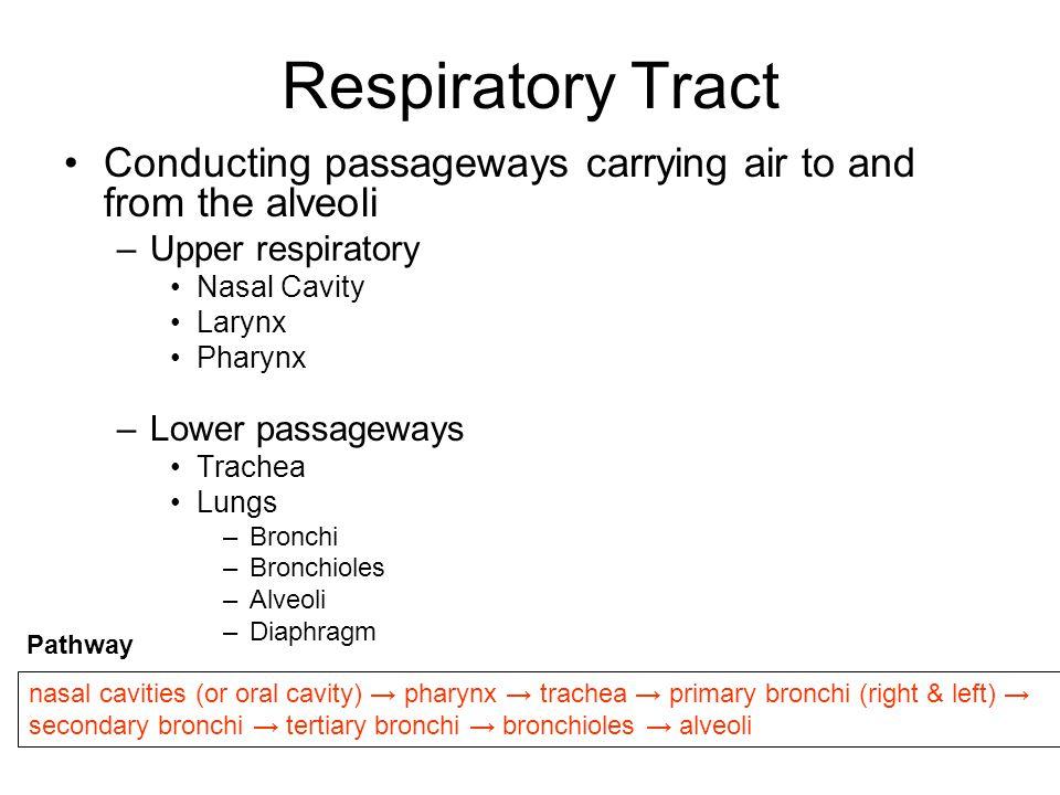 Respiratory Tract Conducting passageways carrying air to and from the alveoli –Upper respiratory Nasal Cavity Larynx Pharynx –Lower passageways Trache