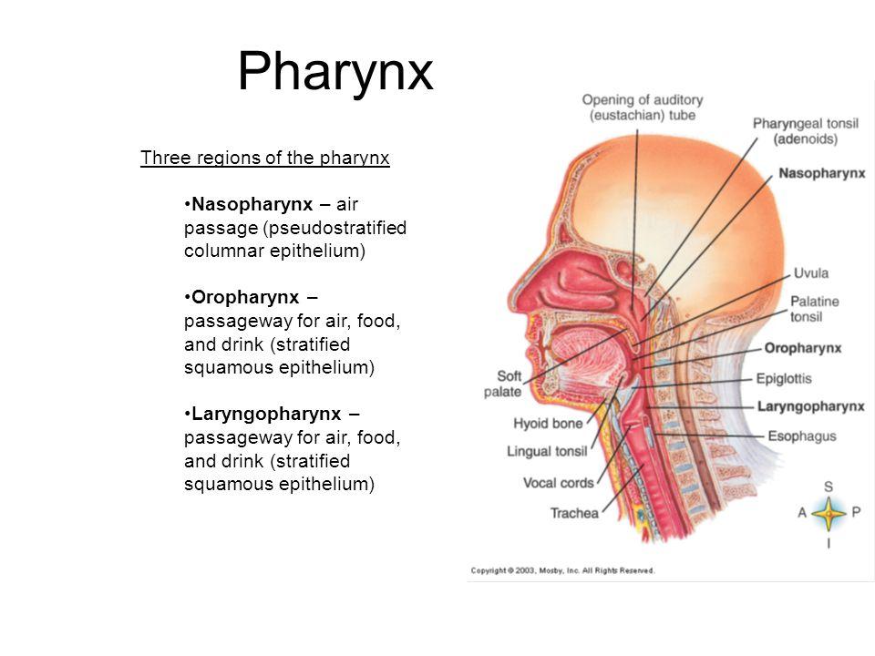 Pharynx Three regions of the pharynx Nasopharynx – air passage (pseudostratified columnar epithelium) Oropharynx – passageway for air, food, and drink