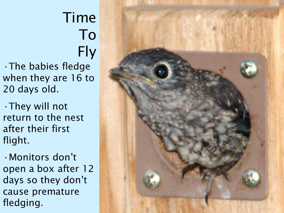Time To Fly The babies fledge when they are 16 to 20 days old.