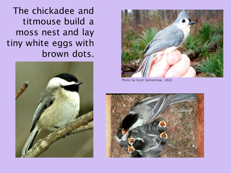 The chickadee and titmouse build a moss nest and lay tiny white eggs with brown dots.