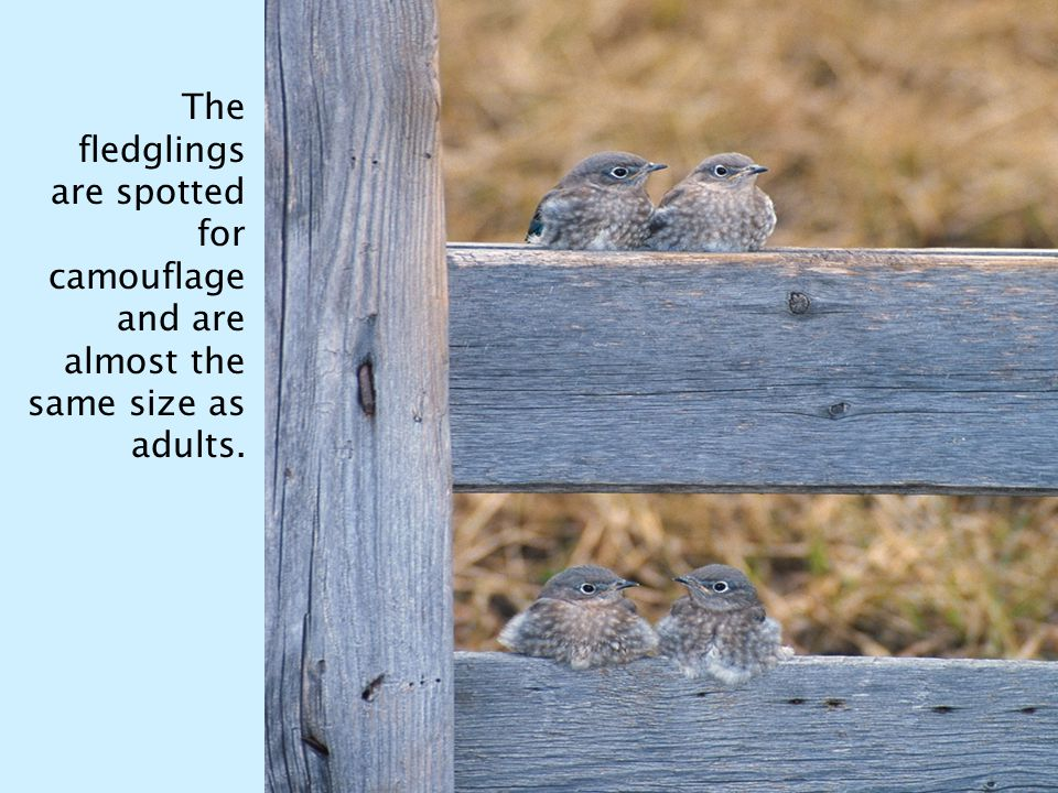 The fledglings are spotted for camouflage and are almost the same size as adults.