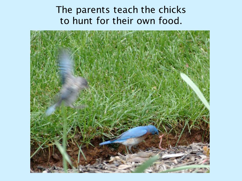 The parents teach the chicks to hunt for their own food.