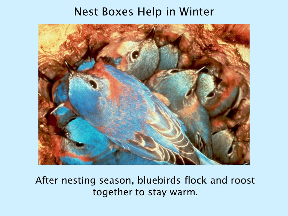 Nest Boxes Help in Winter After nesting season, bluebirds flock and roost together to stay warm.