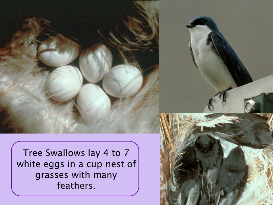 Tree Swallows lay 4 to 7 white eggs in a cup nest of grasses with many feathers.