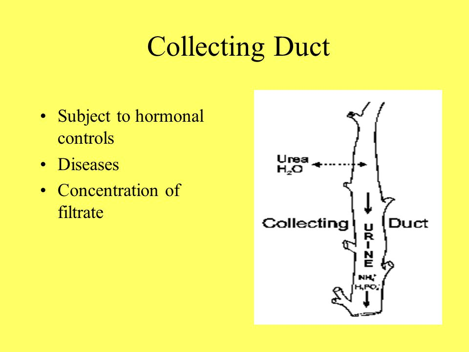 Collecting Duct Subject to hormonal controls Diseases Concentration of filtrate