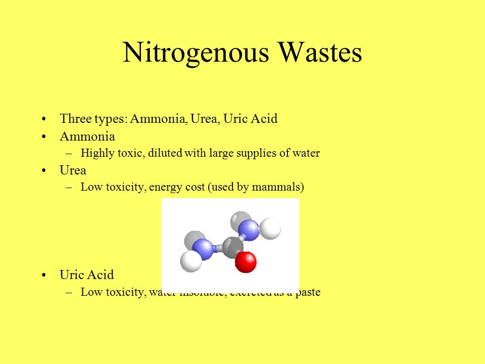 Nitrogenous Wastes Three types: Ammonia, Urea, Uric Acid Ammonia –Highly toxic, diluted with large supplies of water Urea –Low toxicity, energy cost (used by mammals) Uric Acid –Low toxicity, water insoluble, excreted as a paste