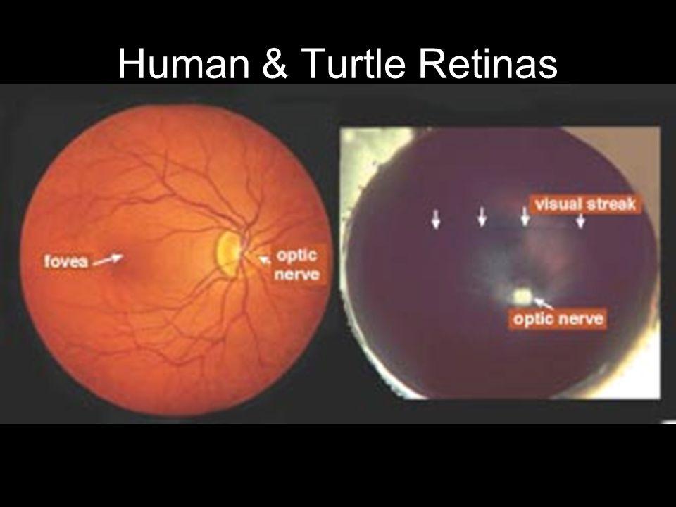 Human & Turtle Retinas
