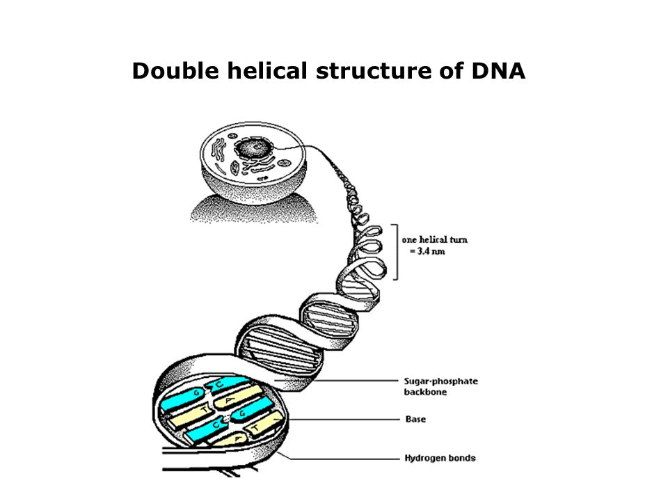 Double helical structure of DNA