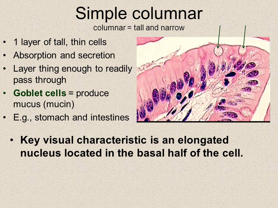 Simple columnar columnar = tall and narrow 1 layer of tall, thin cells Absorption and secretion Layer thing enough to readily pass through Goblet cell