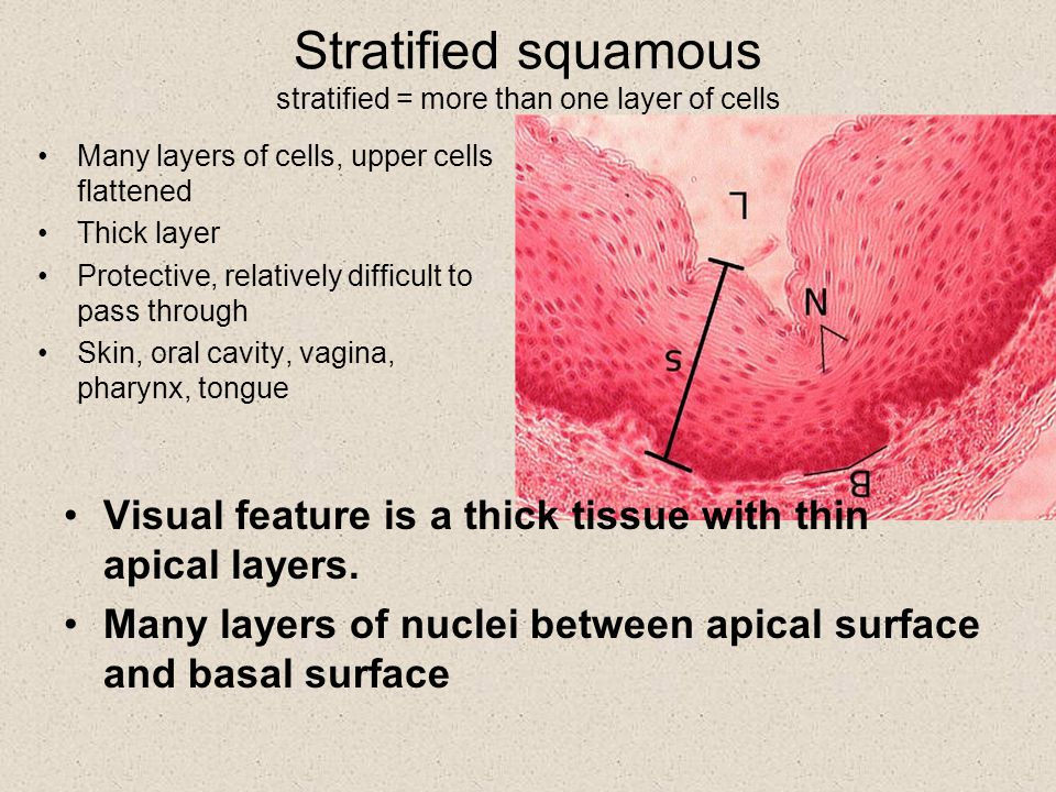 Stratified squamous stratified = more than one layer of cells Many layers of cells, upper cells flattened Thick layer Protective, relatively difficult