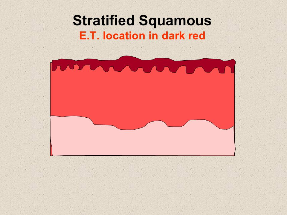 Stratified Squamous E.T. location in dark red