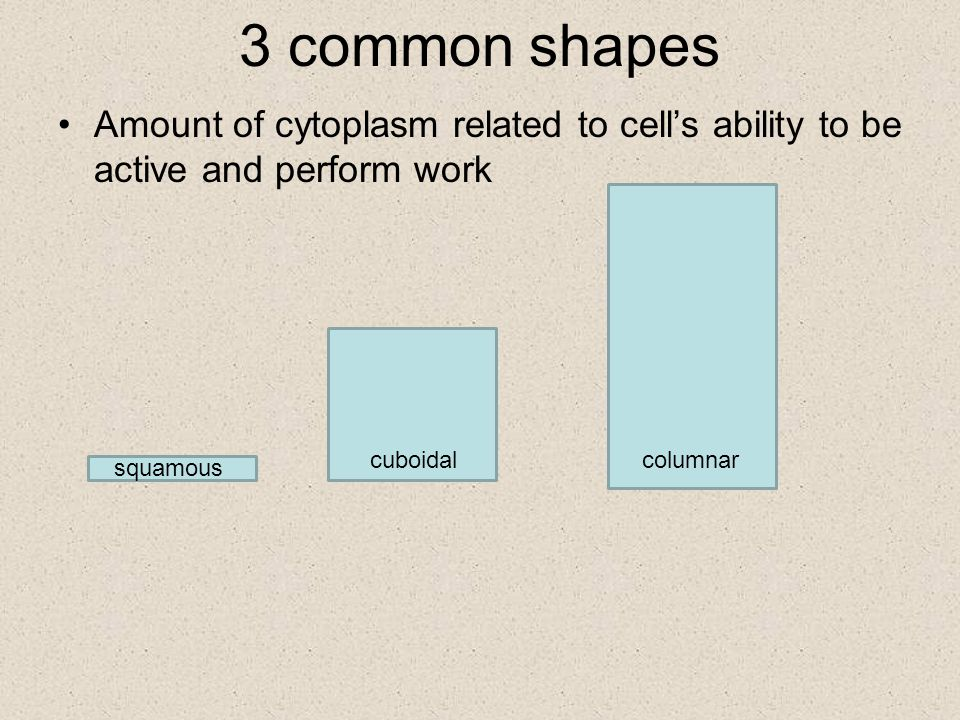 3 common shapes Amount of cytoplasm related to cell's ability to be active and perform work squamous cuboidalcolumnar