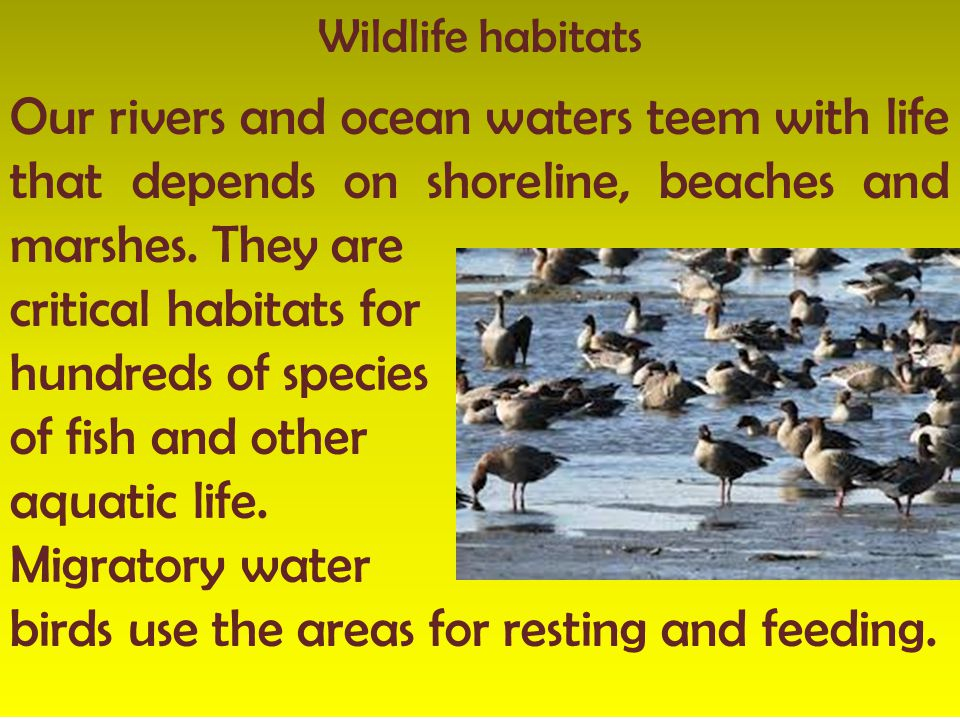 Wildlife habitats Our rivers and ocean waters teem with life that depends on shoreline, beaches and marshes. They are critical habitats for hundreds o