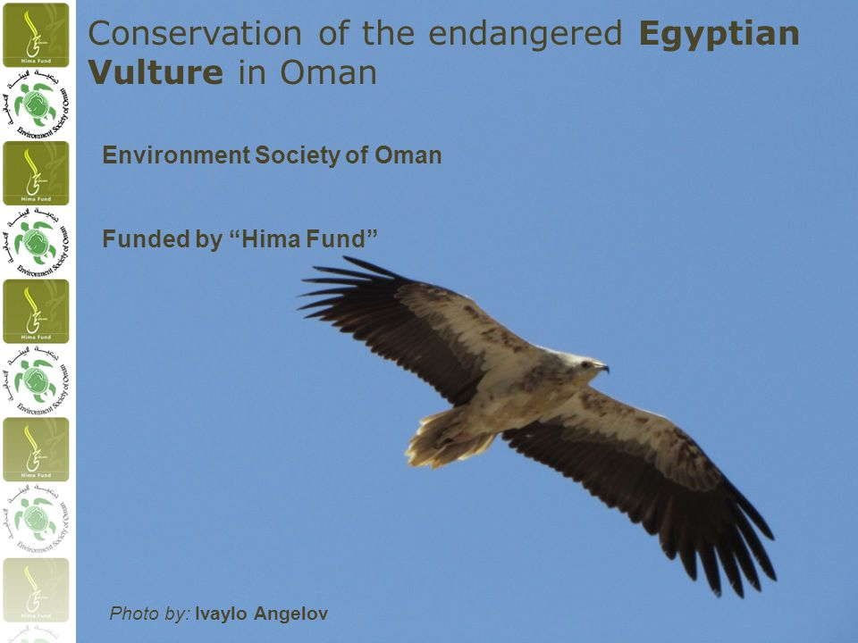 Conservation of the endangered Egyptian Vulture in Oman Environment Society of Oman Photo by: Ivaylo Angelov Funded by Hima Fund