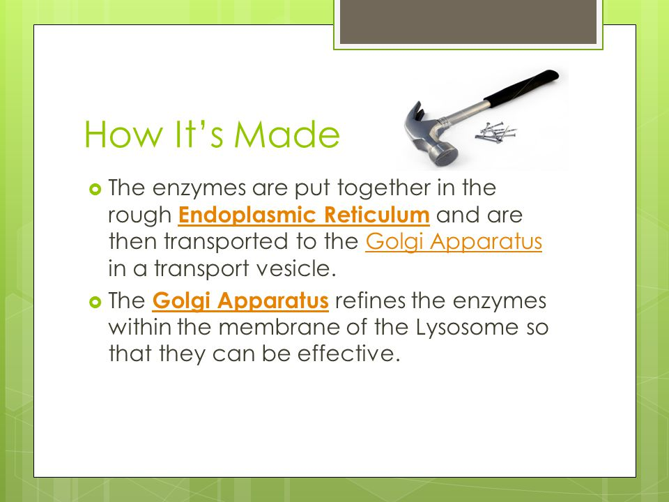 How It's Made  The enzymes are put together in the rough Endoplasmic Reticulum and are then transported to the Golgi Apparatus in a transport vesicle.
