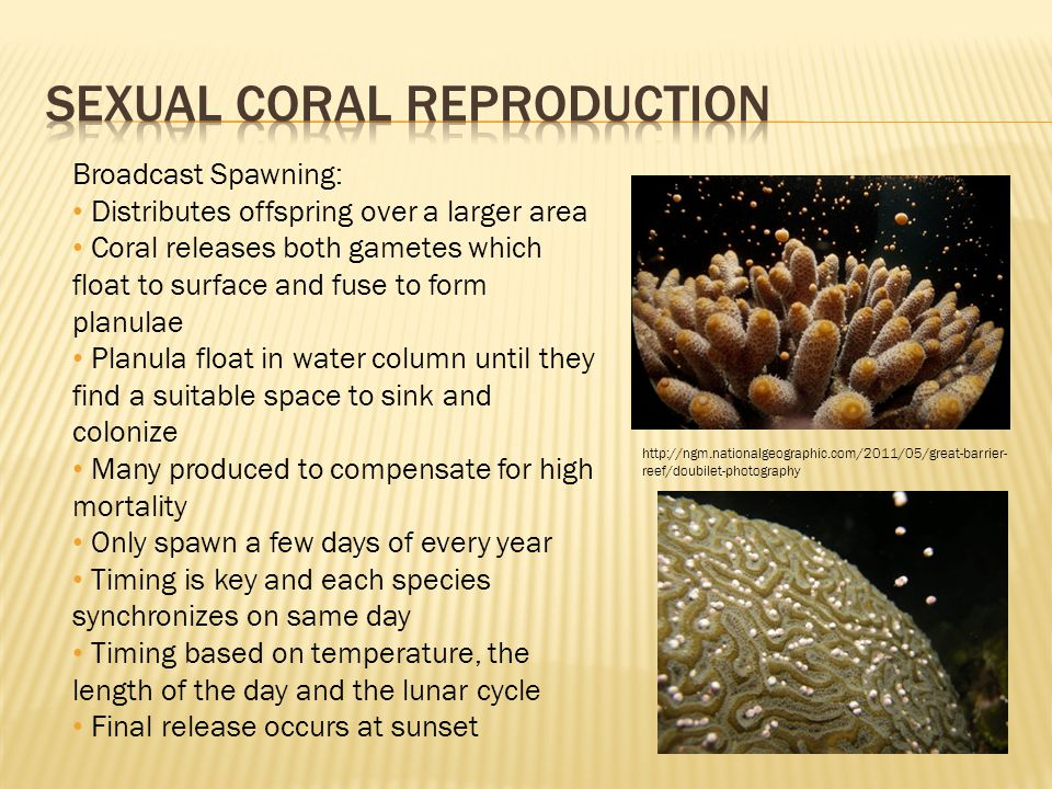 http://ngm.nationalgeographic.com/2011/05/great-barrier- reef/doubilet-photography Broadcast Spawning: Distributes offspring over a larger area Coral releases both gametes which float to surface and fuse to form planulae Planula float in water column until they find a suitable space to sink and colonize Many produced to compensate for high mortality Only spawn a few days of every year Timing is key and each species synchronizes on same day Timing based on temperature, the length of the day and the lunar cycle Final release occurs at sunset