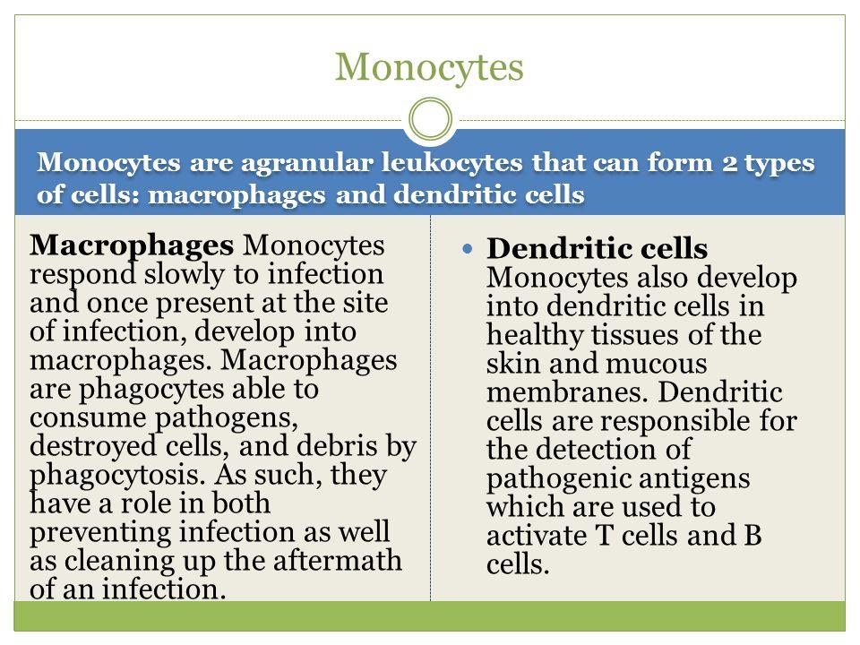 Myeloid Stem Cells Lymphoid Stem Cells Myeloid stem cells produce monocytes and the granular leukocytes— eosinophils, basophils, and neutrophils.