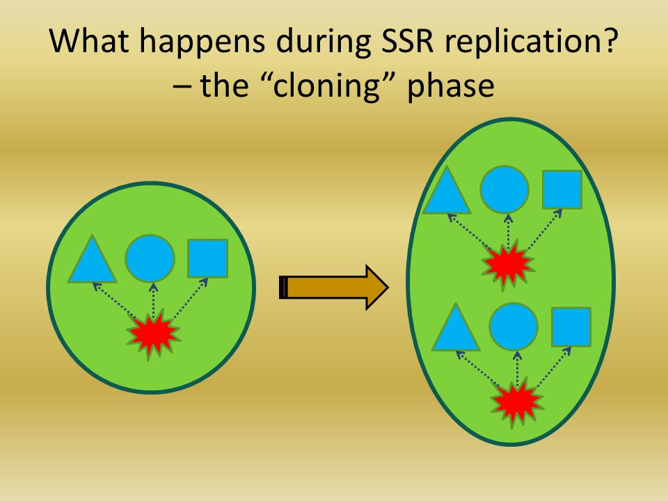 What happens during SSR replication? – the division phase