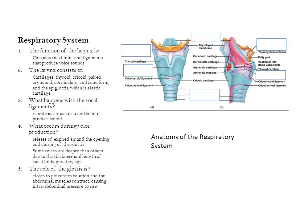 Respiratory System 1.The function of the larynx is: Contains vocal folds and ligaments that produce voice sounds 2.The larynx consists of: Cartilages: thyroid, cricoid, paired arytenoid, corniculate, and cuneiform; and the epiglottis, which is elastic cartilage 3.What happens with the vocal ligaments.