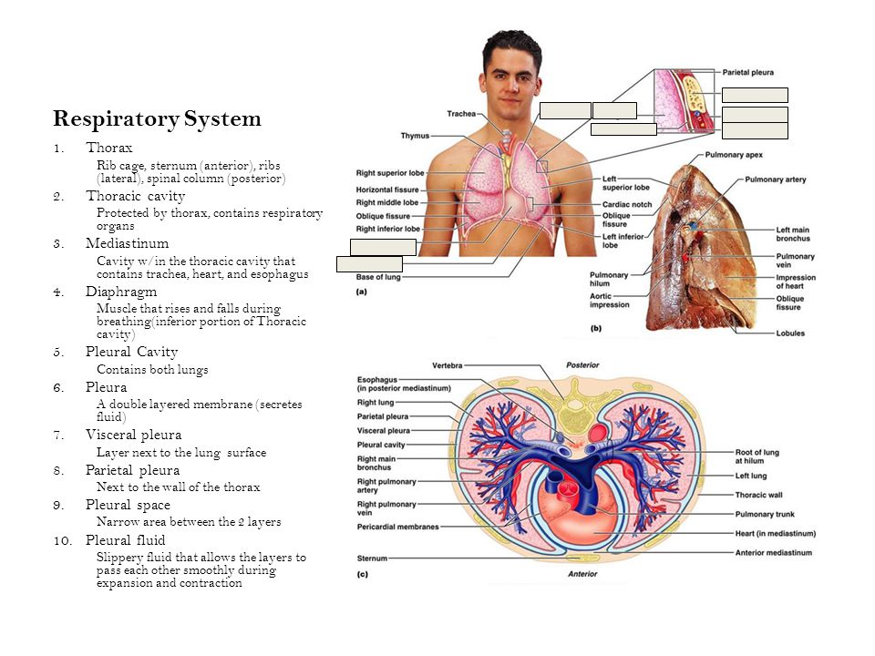 Respiratory System 1.Thorax Rib cage, sternum (anterior), ribs (lateral), spinal column (posterior) 2.Thoracic cavity Protected by thorax, contains respiratory organs 3.Mediastinum Cavity w/in the thoracic cavity that contains trachea, heart, and esophagus 4.Diaphragm Muscle that rises and falls during breathing(inferior portion of Thoracic cavity) 5.Pleural Cavity Contains both lungs 6.Pleura A double layered membrane (secretes fluid) 7.Visceral pleura Layer next to the lung surface 8.Parietal pleura Next to the wall of the thorax 9.Pleural space Narrow area between the 2 layers 10.Pleural fluid Slippery fluid that allows the layers to pass each other smoothly during expansion and contraction