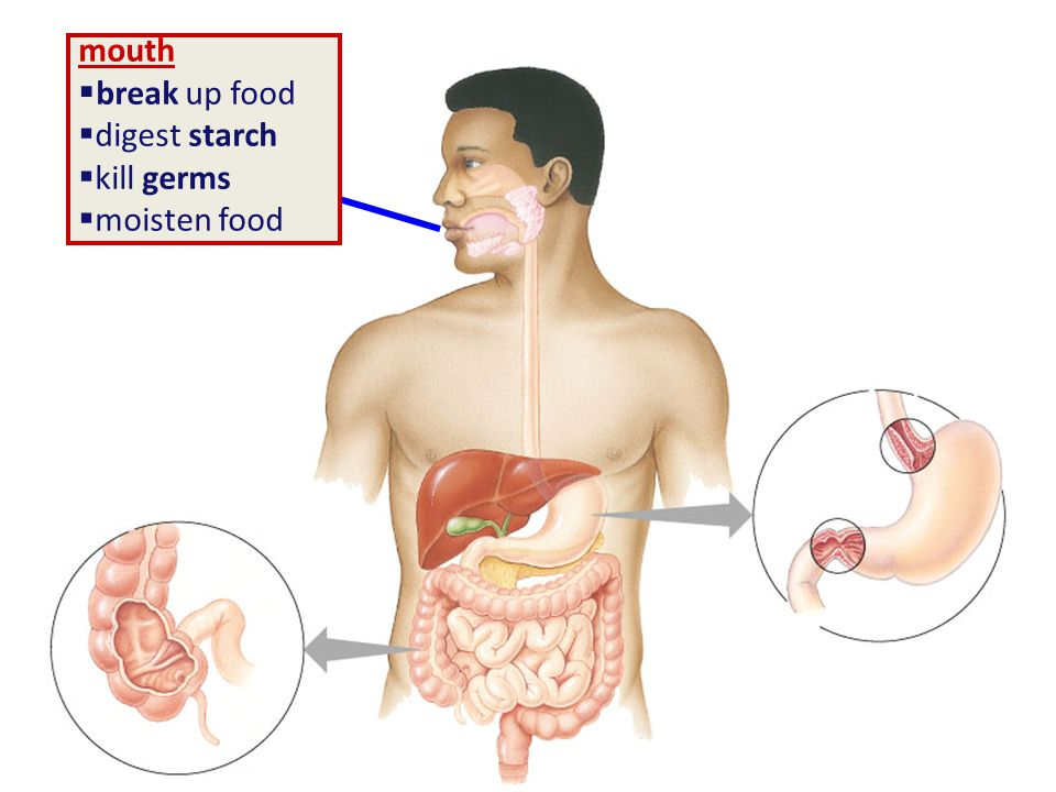 Getting & Using Food Ingest – taking in food Digest – mechanical digestion breaking up food into smaller pieces – chemical digestion breaking down food into molecules small enough to be absorbed into cells enzymes Absorb – absorb nutrients across cell membranes diffusion active transport Eliminate – undigested material passes out of body intracellular digestion extracellular digestion