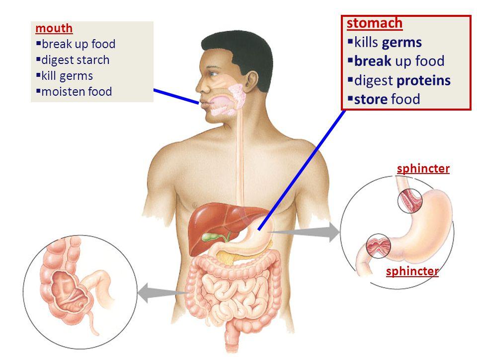 stomach  kills germs  break up food  digest proteins  store food sphincter mouth  break up food  digest starch  kill germs  moisten food