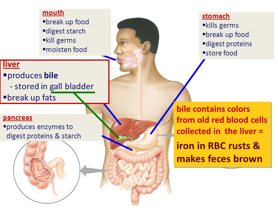 stomach  kills germs  break up food  digest proteins  store food mouth  break up food  digest starch  kill germs  moisten food pancreas  produces enzymes to digest proteins & starch
