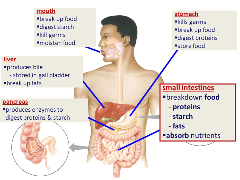 small intestines  breakdown food - proteins - starch - fats  absorb nutrients stomach  kills germs  break up food  digest proteins  store food mouth  break up food  digest starch  kill germs  moisten food pancreas  produces enzymes to digest proteins & starch liver  produces bile - stored in gall bladder  break up fats