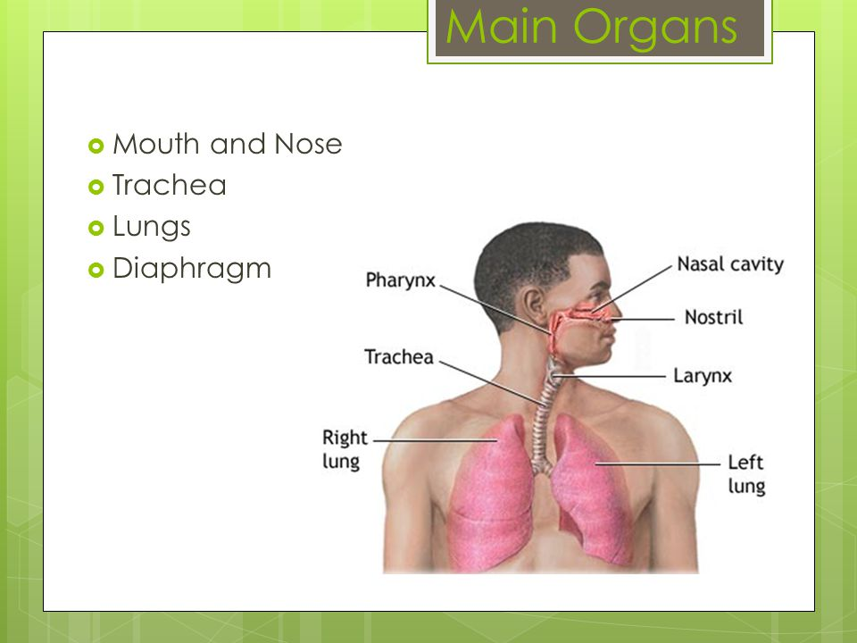 Mouth and Nose  Where oxygen enters the respiratory system  cleans the air of dust  warms the air if it is too cool  moistens the air if it is dry
