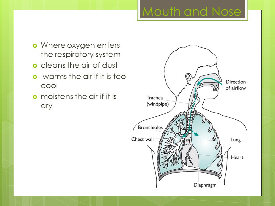 Mouth and Nose  Where oxygen enters the respiratory system  cleans the air of dust  warms the air if it is too cool  moistens the air if it is dry