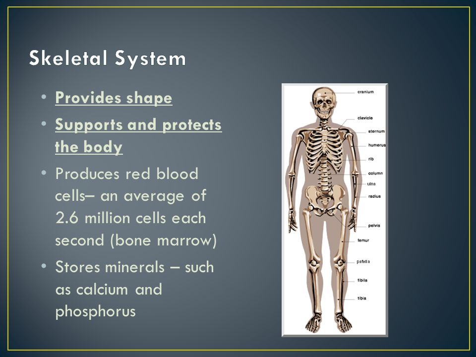 Provides shape Supports and protects the body Produces red blood cells– an average of 2.6 million cells each second (bone marrow) Stores minerals – su