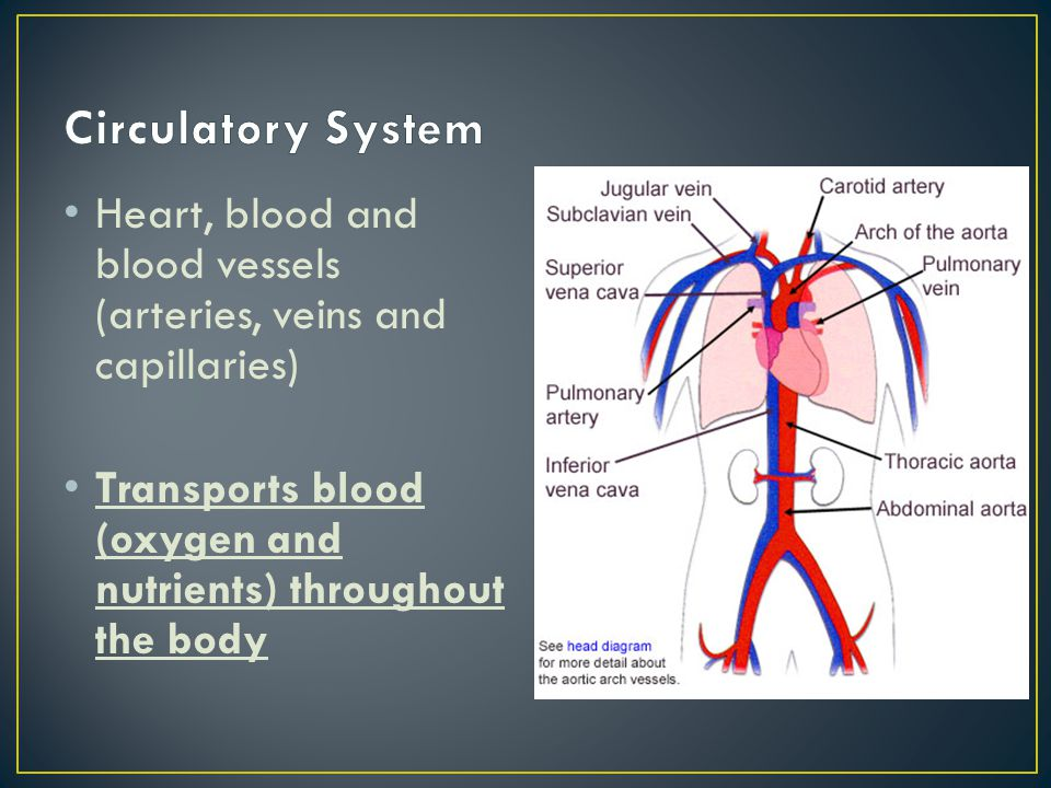 Heart, blood and blood vessels (arteries, veins and capillaries) Transports blood (oxygen and nutrients) throughout the body