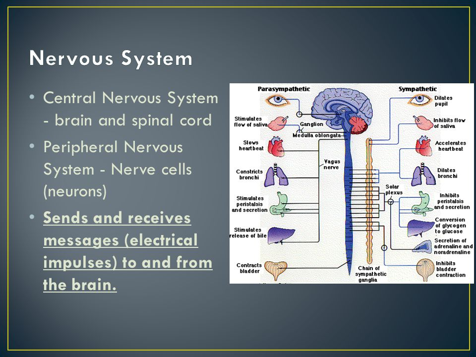 Central Nervous System - brain and spinal cord Peripheral Nervous System - Nerve cells (neurons) Sends and receives messages (electrical impulses) to