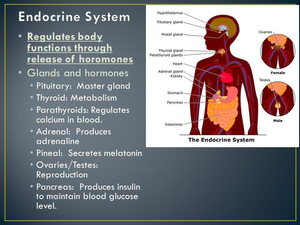 Regulates body functions through release of horomones Glands and hormones Pituitary: Master gland Thyroid: Metabolism Parathyroids: Regulates calcium