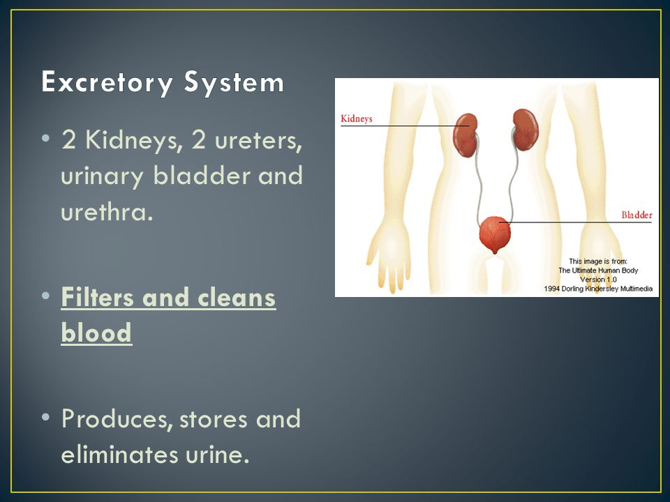 2 Kidneys, 2 ureters, urinary bladder and urethra. Filters and cleans blood Produces, stores and eliminates urine.