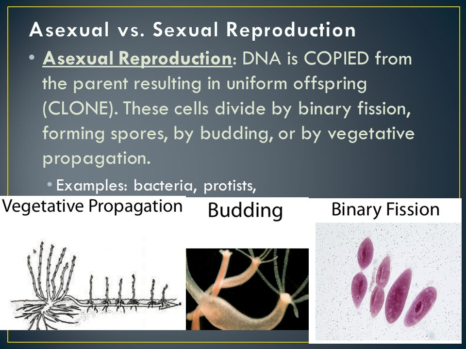 Asexual Reproduction: DNA is COPIED from the parent resulting in uniform offspring (CLONE). These cells divide by binary fission, forming spores, by b