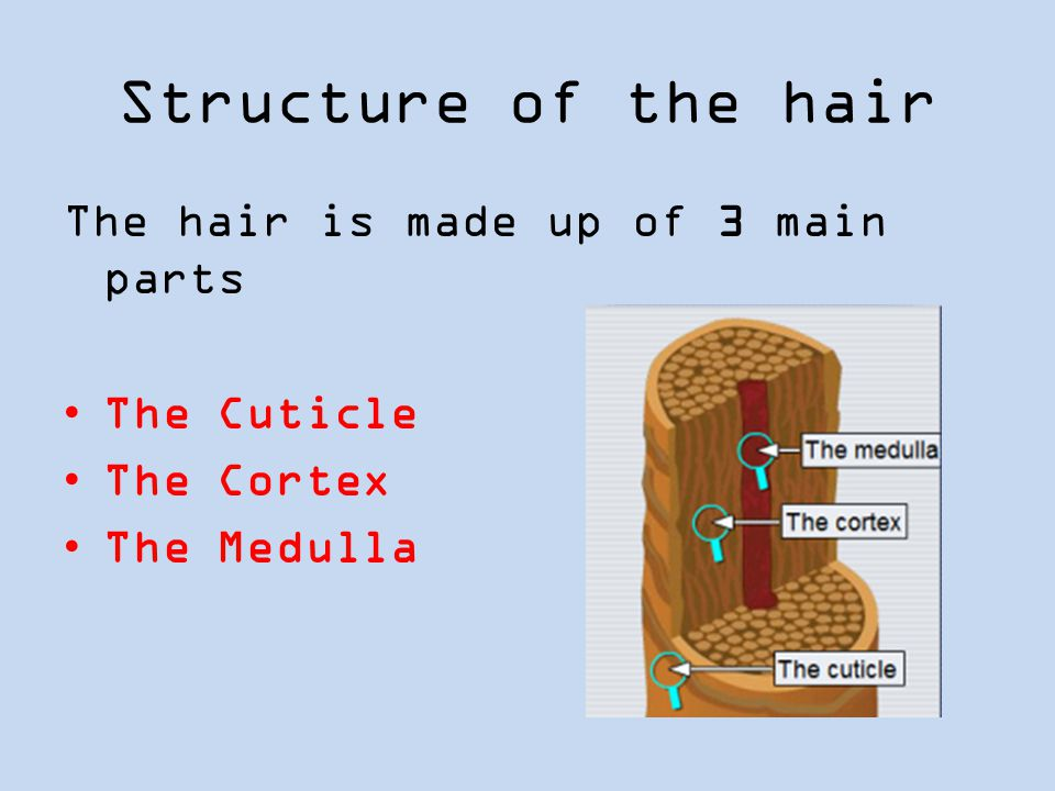 Structure of the hair The hair is made up of 3 main parts The Cuticle The Cortex The Medulla