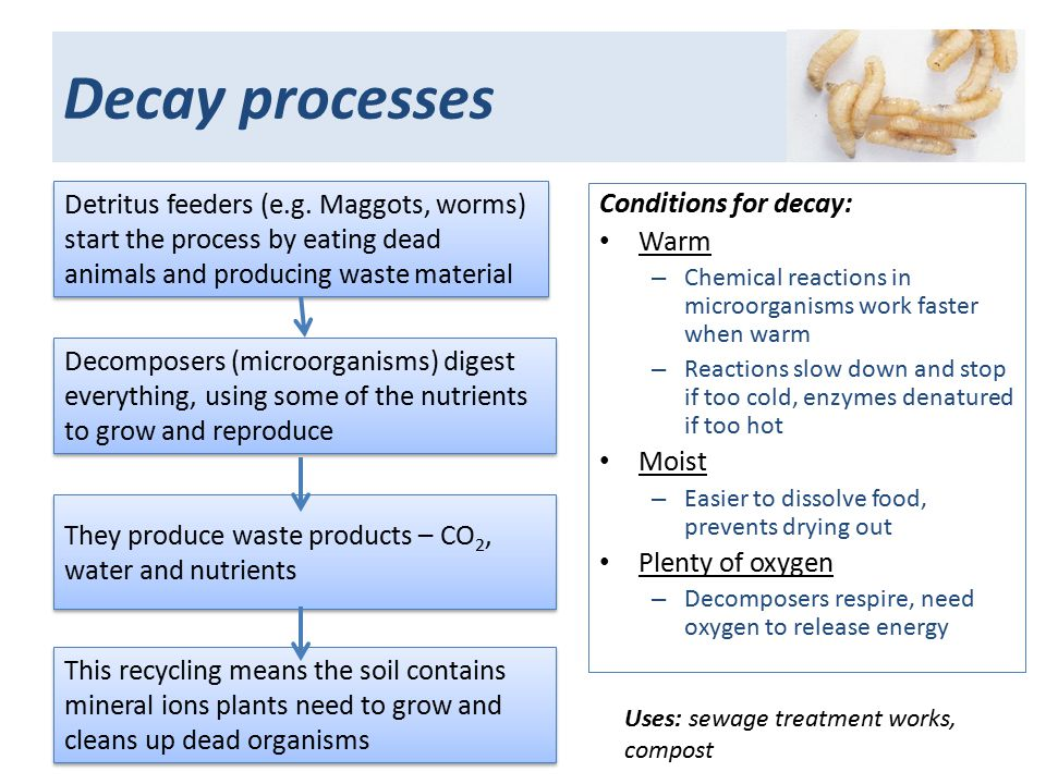 Decay processes Detritus feeders (e.g.