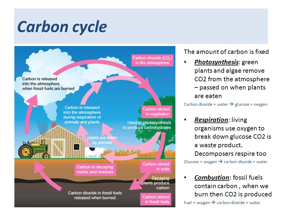 Carbon cycle The amount of carbon is fixed Photosynthesis: green plants and algae remove CO2 from the atmosphere – passed on when plants are eaten Carbon dioxide + water  glucose + oxygen Respiration: living organisms use oxygen to break down glucose CO2 is a waste product.