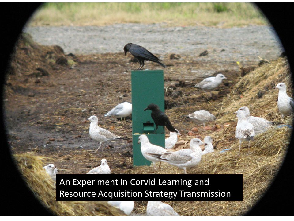 An Experiment in Corvid Learning and Resource Acquisition Strategy Transmission