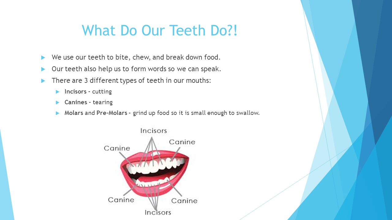 What Do Our Teeth Do .  We use our teeth to bite, chew, and break down food.