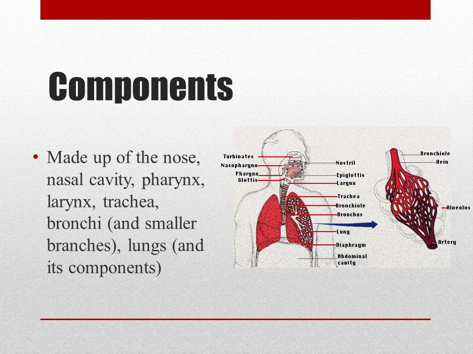 Nose Only externally visible part of the respiratory system Functions Provides an airway for respiration Moistens and warms entering air Filters and cleans inhaled air Serves as a resonating chamber for speech Houses olfactory (smell) receptors 2 nostrils divided by a cartilaginous septum