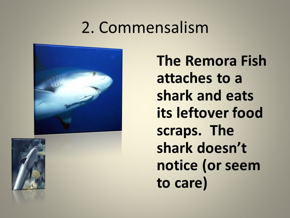 2. Commensalism The Remora Fish attaches to a shark and eats its leftover food scraps.